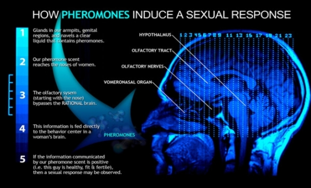 How-Pheromones-Work